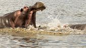 Male hippopotamus fighting with open mouth