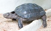 Asian Giant Tortoise.