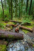 picture of olympic mountains  - Rain Forest In Olympic National Park - JPG