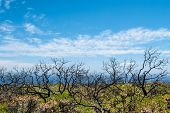 picture of naturalist  - Charred frames of shrubs standing in lush regrowth from bushfire overlooking ocean - JPG