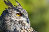 European or Eurasian Eagle Owl, Bubo Bubo, with big orange eyes and a natural green background