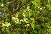stock photo of elm  - Leaves and fruits of Smooth - JPG
