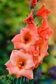 image of gladiolus  - Orange gladiolus growing in a flower garden - JPG