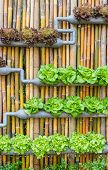 pic of hydroponics  - Organic hydroponic vegetables Vertical garden on bamboo wall - JPG