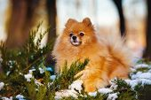 red pomeranian spitz dog in winter