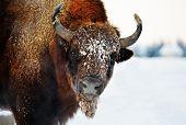european bison outdoor in winter