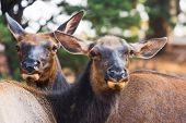 pic of mule  - Curious mule deers watching tourists - JPG
