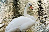 White Swan On Pond