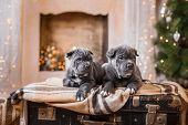 Dog Breed Cane Corso Puppy