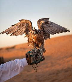 stock photo of falcons  - Hunting falcon in the desert - JPG