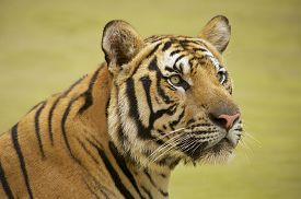 picture of tiger eye  - Adult Indochinese tiger - JPG