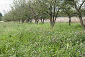 stock photo of orchard  - Young orchard in Mazowieckie province - JPG