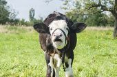 pic of mammal  - Young male cow on meadows - JPG