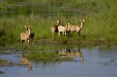 stock photo of deer family  - herd of Swamp Deer on the riverbank - JPG