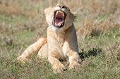 picture of saharan  - A female lioness lies in the short grass in the Ngorongoro Crater in the early morning sun and while taking a big yawn - JPG