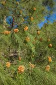 stock photo of pinus  - Pinus canariensis Canarian Pine male cones in spring - JPG