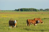 image of hereford  - Grazing Herford cows on Dutch wadden island Terschelling - JPG