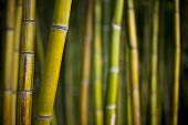 picture of bamboo forest  - Close up of a giant bamboo in a Chinese forest - JPG