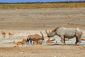 image of rhino  - Gemsbok Oryx - JPG