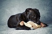picture of staffordshire-terrier  - A Staffordshire Bull Terrier Puppy with a Toy  - JPG
