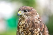 image of buzzard  - Portrait of an buzzard with blurred green background - JPG