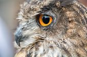 picture of owl eyes  - Nice portrait of an owl with orange eyes - JPG