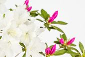 picture of azalea  - Close up of white azalea flowers with magenta pink flowers in background - JPG