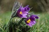 image of rare flowers  - Closeup image of a group of shiny purple pasque flowers - JPG
