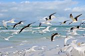 pic of flock seagulls  - A Large Group of Seagulls taking Flight from the Beach  - JPG