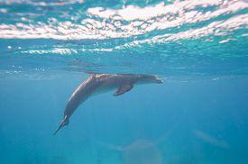 foto of bottlenose dolphin  - Wild bottlenose dolphin Tursiops truncatus swimming underwater in a sandy lagoon - JPG