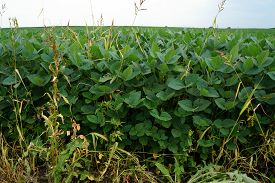 stock photo of soybeans  - Soybean plants at the edge of a soybean field in rural Illinois  - JPG