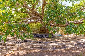 image of ethiopia  - Old tree in the center of the Gondar city in Ethiopia - JPG