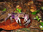 Purple Land Crab