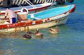 Pelicans Wait For Dinner