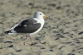 The Western Gull (larus Occidentals)