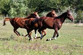 Purebred Horses Runs On Meadow In A Sunny Day poster