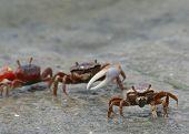 Fiddler_Crabs