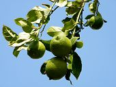 Or Yehuda Ripening Lemons  2010