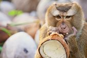 Постер, плакат: Monkey eats coconut at the coconut plantation at Koh Samui Thailand