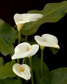 stock photo of calla lily  - Four white CallaLilies with green leaves on dark background - JPG