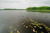 Lírios em um lago tranquilo