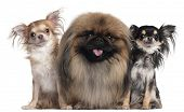 Two Chihuahuas, 3 years old and 10 months old, and a Pekingese, 2 years old, in front of white background