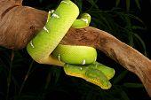 Emerald Tree Boa  ( Corallus Caninus)