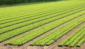Cultivated Lettuce Field In A Farming Plantation poster