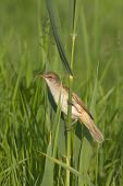 Great Reed Warbler on the reed / Acrocephalus arundinaceus