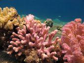 Постер, плакат: Красочных кораллов в море Clear Blue