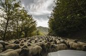 Tilted View Of Sheared Sheep On Rural Road With A Car Trying To Pass. One Sheep Is Looking At The Ca poster