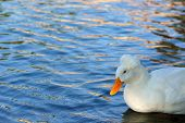 stock photo of crested duck  - Single crested duck at a neighborhood pond in the afternoon - JPG