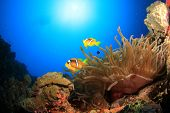 Bubble Anemone and Pair of Red Sea Anemonefish (Clownfish)