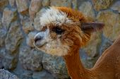 Cute Little Alpaca (lama Animal, Llama) Baby In Farm. Beautiful Pretty Alpaca Or Llama On Stone Back poster